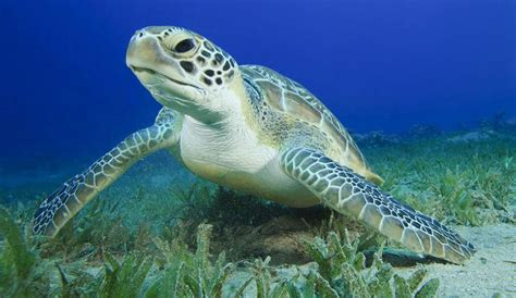 Turtle Images Something Strange Is Happening To Sea Turtles At The
