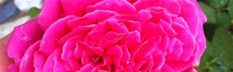 Pflanzen Im Oktober by Pflanzen Rosenpflege Im Oktober