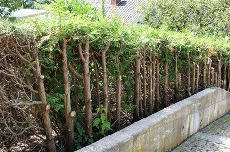 thuja stark zurückschneiden lebensbaum und scheinzypresse r 252 ckschnitt mein sch 246 ner garten
