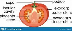 Morphology And Anatomy Of Tomato Ripe Red Fruit  Tomato
