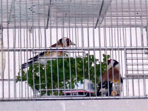cardellini in gabbia cardellini in gabbia dott cattarossi