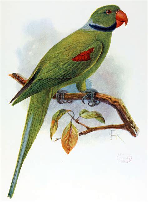 seychelles parakeet wikipedia