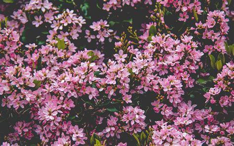 nv flower pink spring happy nature wallpaper