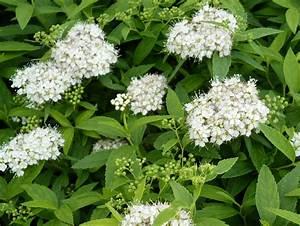 Weiße Leinwand Kaufen : wei e zwergspiere spiraea japonica albiflora bl hstrauch g nstig kaufen ~ Markanthonyermac.com Haus und Dekorationen
