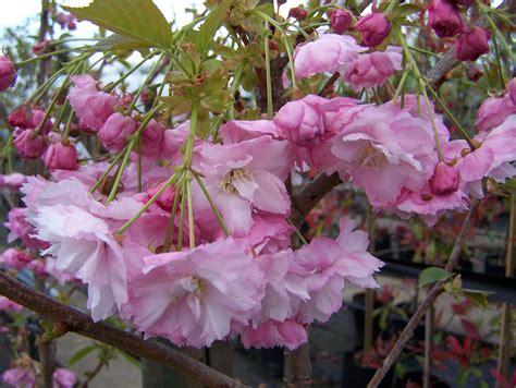 pink flowering cherry tree prunus pink perfection flowering cherry leafland