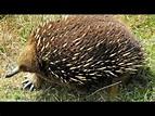 spiny anteater - YouTube