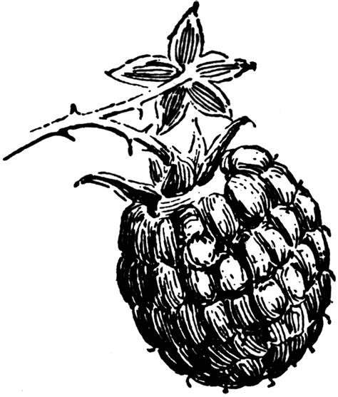 raspberry bush clipart black and white blackberry clipart raspberry fruit clip