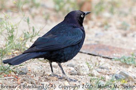 brewer s blackbird