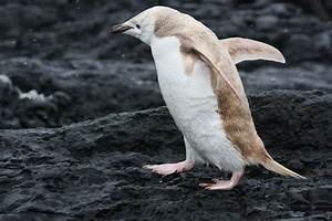 """White,"" Albino-like Penguin Found in Antarctica"