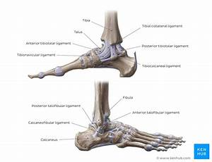 Ankle And Foot Anatomy  Bones  Joints  Muscles