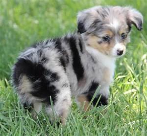 Toy Aussie Puppy | Puppy dogs | Pinterest | Gardens, Toys ...