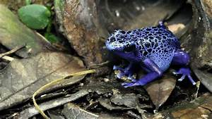 Blue Poison Frog Eating - YouTube