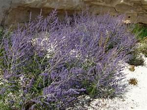 Culture De La Lavande : perovskia sauge russe lavande d 39 afghanistan planter cultiver ~ Melissatoandfro.com Idées de Décoration