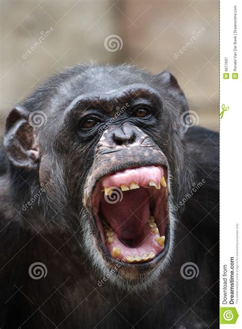 chimpanzee stock image image  scream nose primates