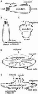 A  A Planula Larva Swimming Horizontally Pre