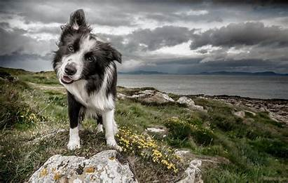 Border Collie Wallpapers Collies Dog Background Backgrounds