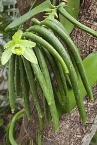 Orchidee Vanda Pflege : vanilla planifolia vanille orchidee pflanzen und pflege ~ Lizthompson.info Haus und Dekorationen