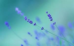 Wallpaper flower, lavender, simple desktop wallpaper ...