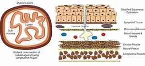 Medical Physiology  Gastrointestinal Physiology  Anatomy