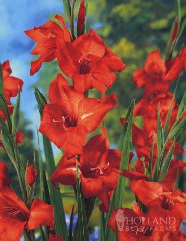 mirella hardy mini gladiolus