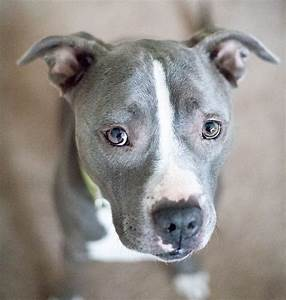 Blue Nose Pitbull Facts, Fun, Pros and Cons of a Blue ...