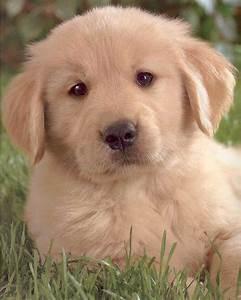 49 golden retriever puppies wallpaper on