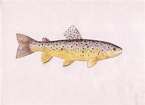 brown trout | Unquenchable Curiosity