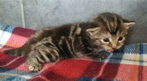 Beautiful Marbled Tabby Female Kitten | Harrow, Middlesex ...