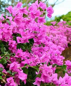 Bougainvillea Blüht Nicht : bougainvillea kaufen drillingsblume bougainvillea ~ Lizthompson.info Haus und Dekorationen