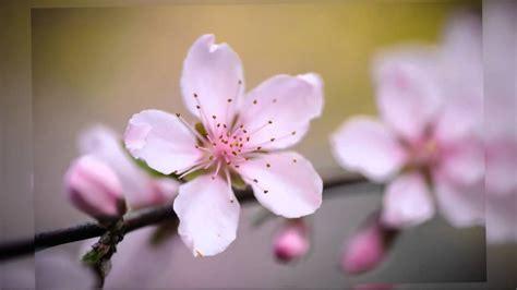 flor de durazno youtube