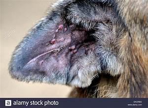 Closeup of inside ear flap of German Shepherd dog ...
