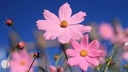 Pink 4k Cosmos Flower Flowers Laptop Wallpapers