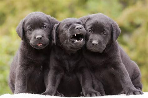 5 Surprising Facts About Labrador Retrievers