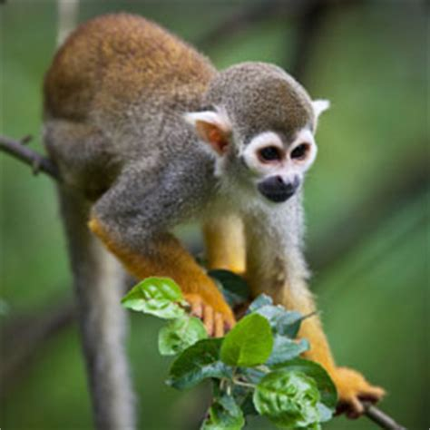 monkeys as pets stunning facts about squirrel monkeys primates with large brains