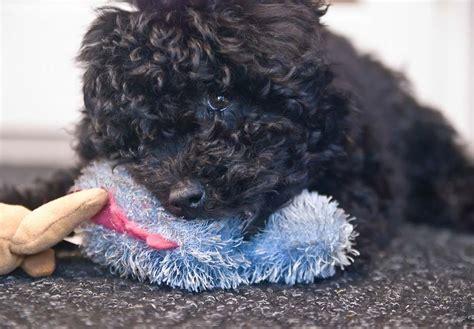 Puli Puppies For Sale Akc Puppyfinder