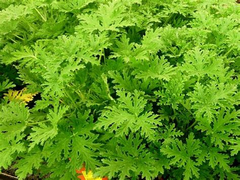 Mosquito Plant, Pelargonium Citrosum - The Citrosa Plant