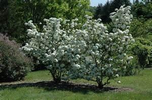 snowball viburnum viburnum macrocephalum in raleigh chapel hill durham apex