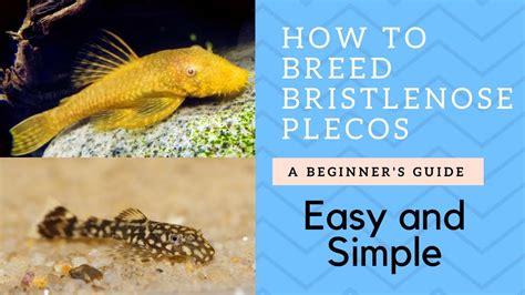 breed bristlenose catfish plecos youtube