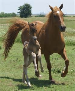 Gallery For > Black Quarter Horse Foal