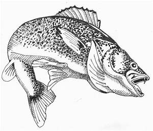 Walleye Clipart - Clipart Suggest