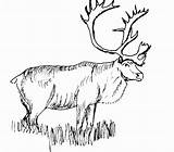 Coloring Elk Mountain Rocky Pages Bull Popular sketch template