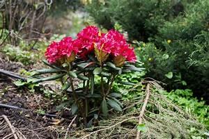 Wann Blüht Der Rhododendron : rhododendron pflanzen anleitung vom experten pflanz tipps plantura ~ Eleganceandgraceweddings.com Haus und Dekorationen