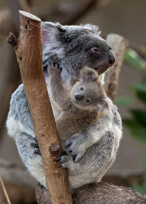 walkabout   zoos koalas