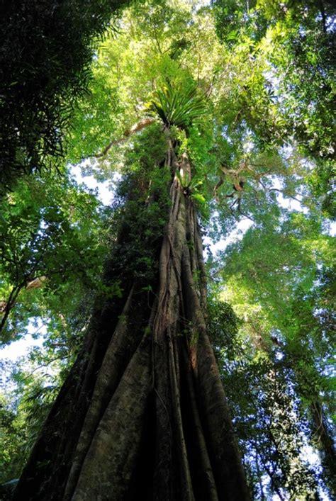 tall rainforest tree pentaxforumscom