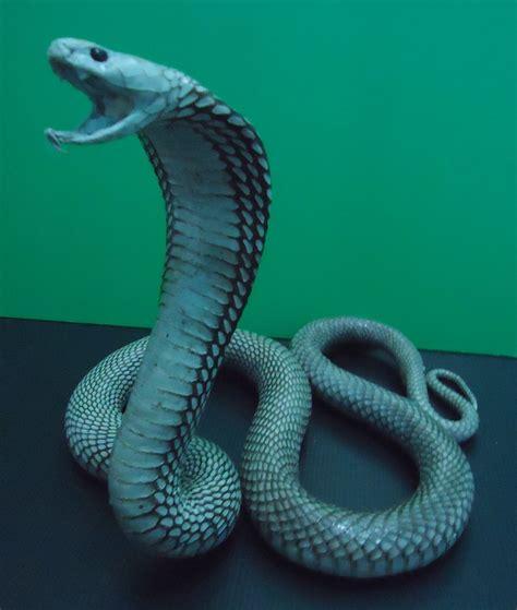 48 Best Images About Cobra Snake On Pinterest