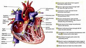 What Is The Internal Structure Of The Heart