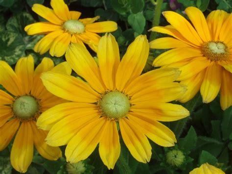 prairie sun black eyed susan orange petals folded  lemon