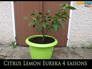 Planter Un Citronnier : rempotage et taille d 39 un citronnier 4 saisons citrus ~ Melissatoandfro.com Idées de Décoration