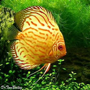 Discus Fish for Sale Online