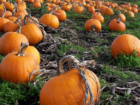 Lakeview Pumpkin Patch by Pumpkin Patches Corn Mazes Fall Festivals In The Chicago
